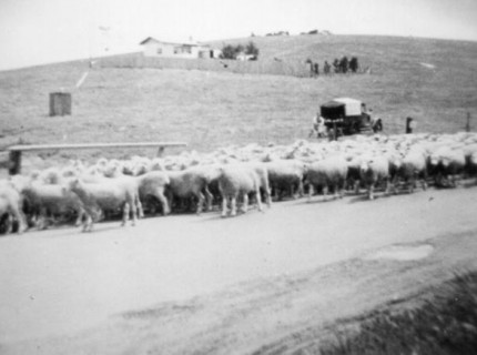 Droving sheep on Pascoe Vale Road